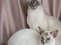 Фото балийской кошки и кота балинеза