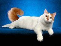 Анатолийская кошка — какая она?
