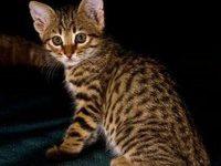 Кошка аравийский мау с фото