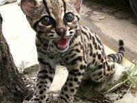Азиатская леопардовая кошка + фото