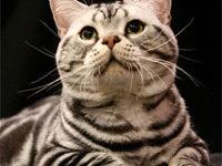 Описание породы американской короткошерстной кошки