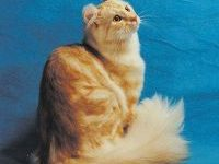 Фото кошки — породы американский кёрл
