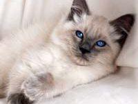 Фото балинезийской кошки — описание породы