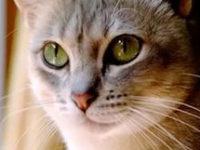 Австралийская дымчатая кошка + фото