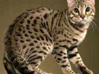 Порода кошек азиатская табби