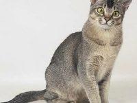 Поведение кошек азиатской дымчатой породы — немного о ее характере