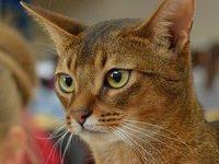 Преданный характер абиссинской кошки