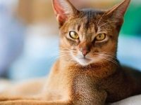 Все о поведении кошек абиссинской породы