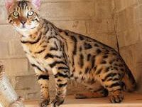 О дикой бенгальской кошке