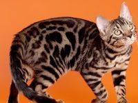 Кошка как леопард — что за порода?