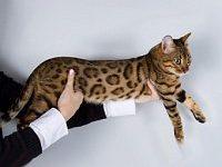 Какой характер у бенгальской кошки?
