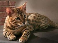Описание породы бенгальской домашней кошки