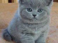 Британские котята — правильный уход и воспитание