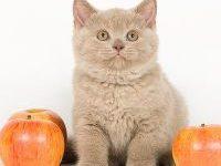 Лучшие витамины для котят британцев