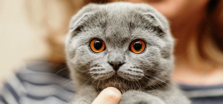 Британская короткошерстная в Алматинской области: продажа котят ... | 550x1170