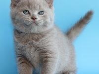 Кот британец — лиловый окрас