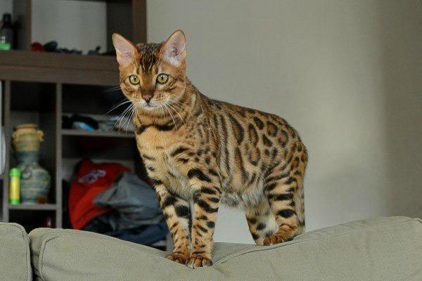 Расцветка кота леопард