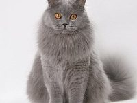 Британские длинношерстные котята — описание породы