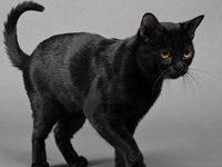 Бомбейская кошка + фото