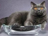 Чем лучше кормить кастрированного кота британца?