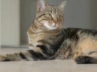 Фото бразильской короткошерстной кошки — описание породы