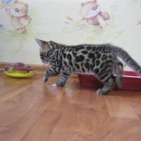 питание бенгальского котенка