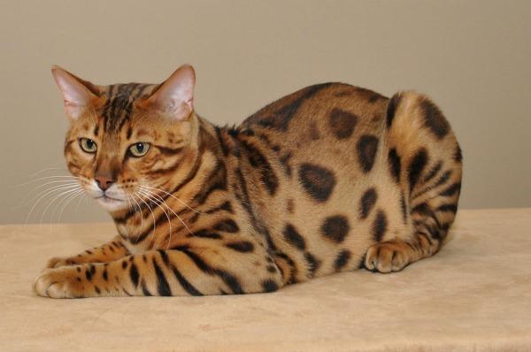 Кот бенгальский вес