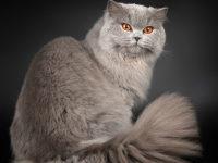 Все о породе длинношерстной британской кошке + фото
