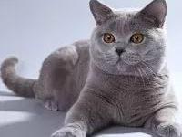 Коты британцы — их характер и повадки + фото