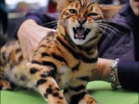 Какие размеры и вес у бенгальской кошки