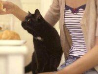 Чем можно кормить в домашних условиях британскую кошку?