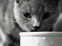 Рекомендуемое питание для британских котов