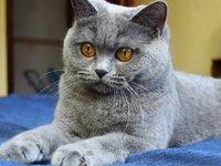 Сколько лет британские коты живут в домашних условиях?