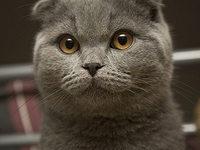 Британская вислоухая короткошерстная кошка