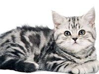 Британский полосатый кот