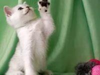 Какой характер у британских котят?