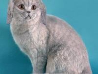 Бывают ли британские кошки — коты вислоухими?