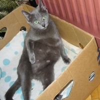 срок беременности у британских кошек