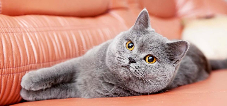 как похудеть британскому коту