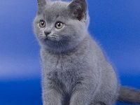 Как правильно ухаживать за британским котенком?