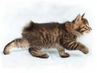 Кошка бобтейл — описание породы и характера