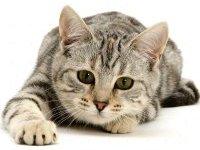 Европейская короткошерстная кошка: фото, описание породы