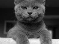 Британская короткошерстная кошка: фото, описание породы
