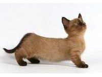 Породы коротколапых кошек
