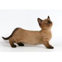 коротколапые кошки порода