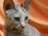 Особенности породы кошек донской сфинкс браш