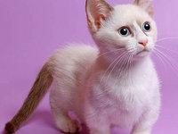 Порода кошек с короткими лапами Манчкин