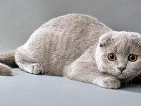 Британская вислоухая кошка — описание породы и характера