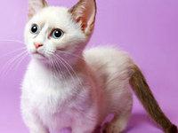 Порода кошек такса — ассоциация