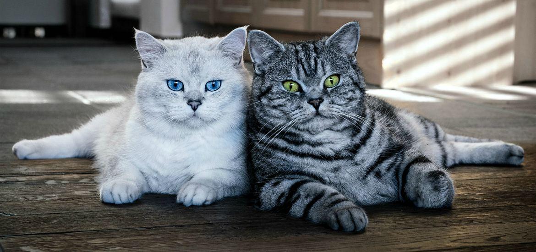 Британская короткошерстная кошка: уход (груминг) за шерстью, ушами ... | 550x1170